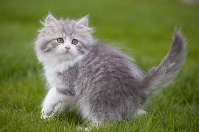 British Longhair 8 Week Old Kitten Outside--Photographic Print