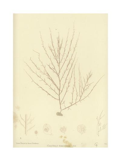 British Sea-Weed--Giclee Print
