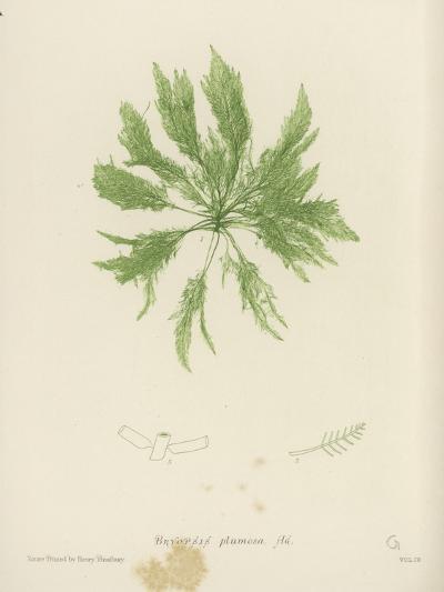 British Sea-Weed--Giclee Print