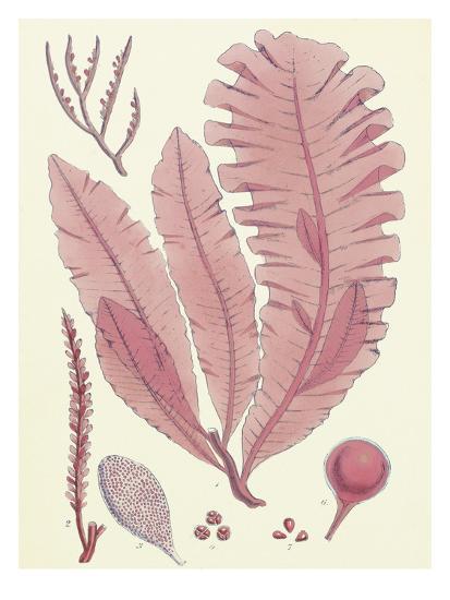British Seaweed Plate CLL-William Henry Harvey-Premium Giclee Print