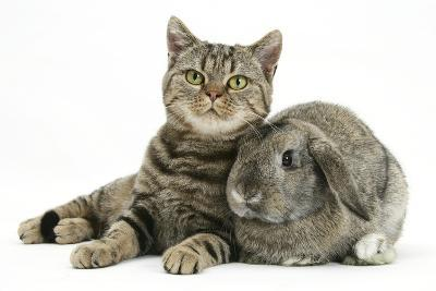 British Shorthair Brown Spotted Cat, Tiger Lily, with Agouti Lop Rabbit-Mark Taylor-Photographic Print
