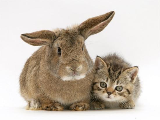 British Shorthair Brown Tabby Female Kitten with Young Agouti Rabbit-Jane Burton-Photographic Print