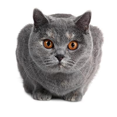 British Shorthair Cat-Fabio Petroni-Photographic Print