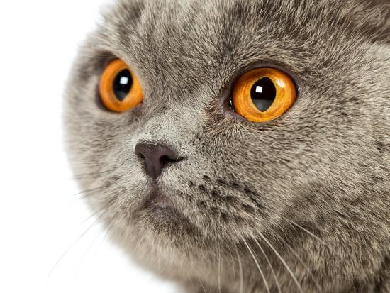 British Shorthair Cat-AberratioN-Photographic Print