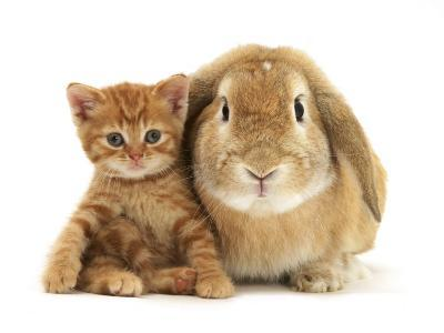 British Shorthair Red Spotted Kitten Sitting with Sandy Lop Rabbit-Jane Burton-Photographic Print