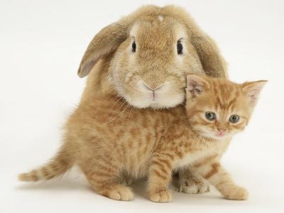 British Shorthair Red Spotted Kitten with Sandy Lop Rabbit-Jane Burton-Photographic Print