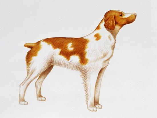Brittany (Canis Lupus), Canidae, Drawing--Giclee Print