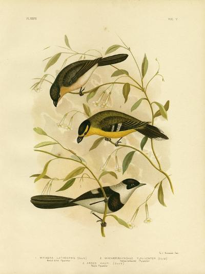 Broad-Billed Flycatcher, 1891-Gracius Broinowski-Giclee Print