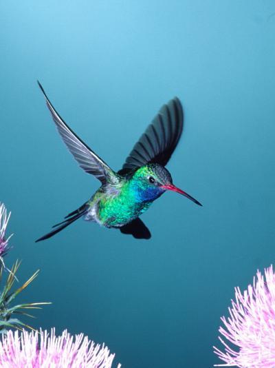 Broad-billed Hummingbird, Arizona, USA-David Northcott-Photographic Print