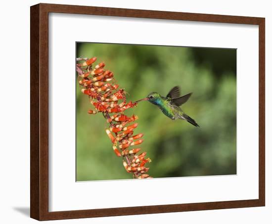 Broad-Billed Hummingbird, Cochise Co, Arizona, Usa-Rebecca Jackrel-Framed Photographic Print