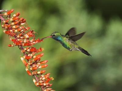 https://imgc.artprintimages.com/img/print/broad-billed-hummingbird-cochise-co-arizona-usa_u-l-pfi2t60.jpg?p=0