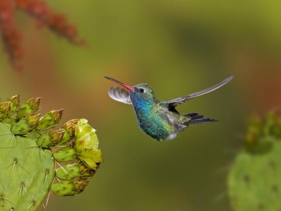 Broad-Billed Hummingbird (Cynanthus Latirostris) Approaching a Prickly Pear Cactus Bloom-Don Grall-Photographic Print