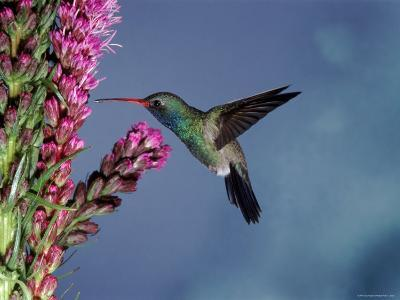 Broad Billed Hummingbird (Cynanthus Latirostris) Az, USA Madera Canyon, Arizona-Mary Mcdonald-Photographic Print