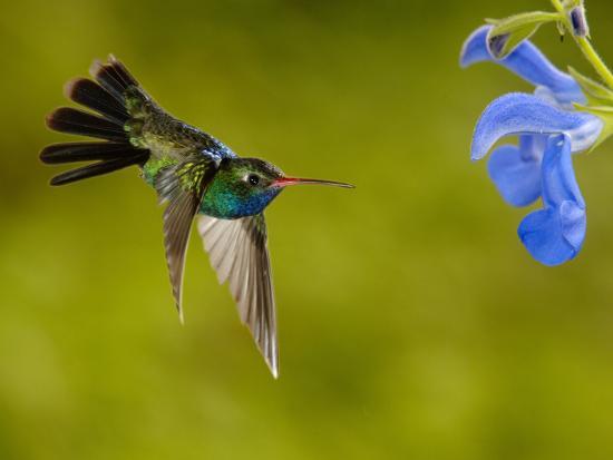 Broad-Billed Hummingbird (Cynanthus Latirostris) Male Feeding on a Blue Tubular Flowers, Arizona-Dave Watts-Photographic Print