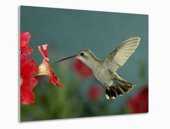 Broad Billed Hummingbird, Female Feeding on Petunia Flower, Arizona, USA-Rolf Nussbaumer-Metal Print