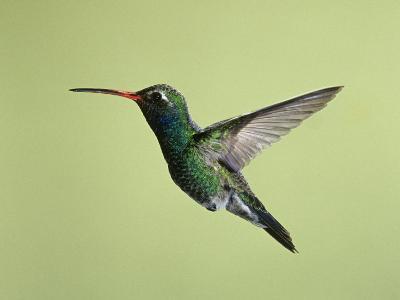Broad-Billed Hummingbird Flying, Cynanthus Latirostris, Western North America-Joe McDonald-Photographic Print