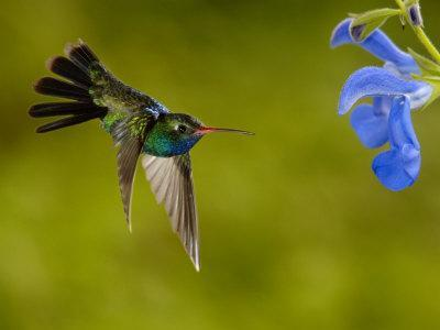 https://imgc.artprintimages.com/img/print/broad-billed-hummingbird-male-feeding-on-garden-flowers-usa_u-l-q10nzwy0.jpg?p=0