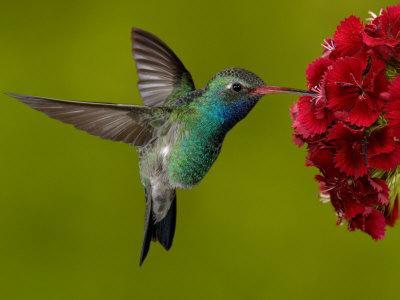 https://imgc.artprintimages.com/img/print/broad-billed-hummingbird-male-feeding-on-garden-flowers-usa_u-l-q10o1zh0.jpg?p=0