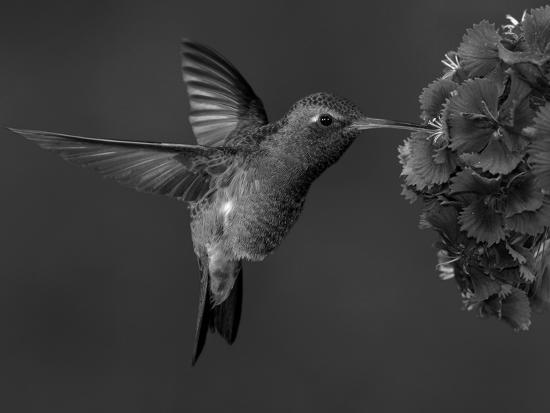 Broad-Billed Hummingbird, Male Feeding on Garden Flowers, USA-Dave Watts-Photographic Print