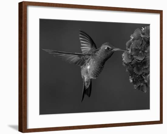Broad-Billed Hummingbird, Male Feeding on Garden Flowers, USA-Dave Watts-Framed Photographic Print