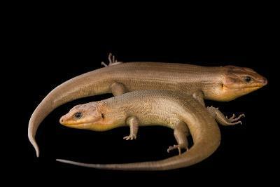 Broad-Headed Skinks, Plestiodon Laticeps-Joel Sartore-Photographic Print