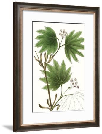 Broad Leafed Maple-Thomas Nuttall-Framed Premium Giclee Print