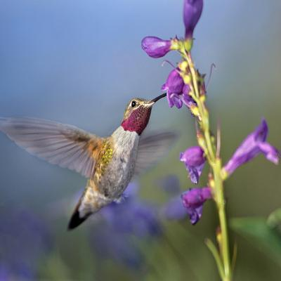 Broad-Tailed Hummingbird at Penstemon, Costa Rica-Tim Fitzharris-Photographic Print