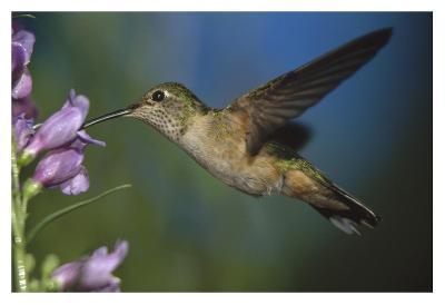 Broad-tailed Hummingbird feeding on the nectar of a Desert Penstemon flower, New Mexico-Tim Fitzharris-Art Print