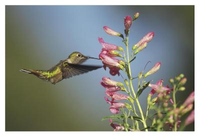 Broad-tailed Hummingbird juvenile feeding on flowers, New Mexico-Tim Fitzharris-Art Print