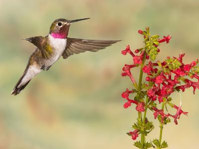 Broad-Tailed Hummingbird (Selasphorus Platycercus) Male Flying at Texas Betony (Stachys Coccinea)-Jack Milchanowski-Photographic Print
