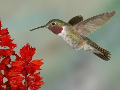 Broad-Tailed Hummingbird (Selasphorus Platycercus) Male Flying-Jack Milchanowski-Photographic Print