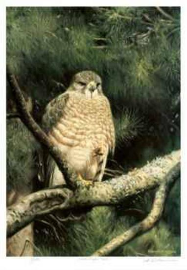 Broad Winged Hawk-Claudio D'Angelo-Limited Edition