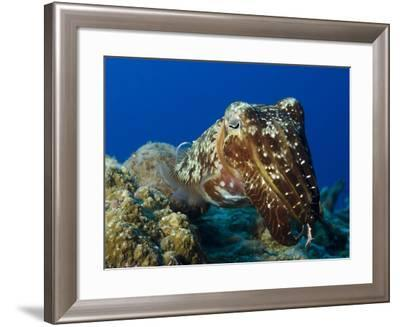 Broadclub Cuttlefish, Papua New Guinea-Stocktrek Images-Framed Photographic Print