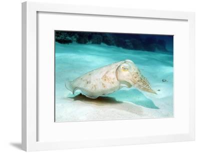 Broadclub Cuttlefish-Georgette Douwma-Framed Photographic Print