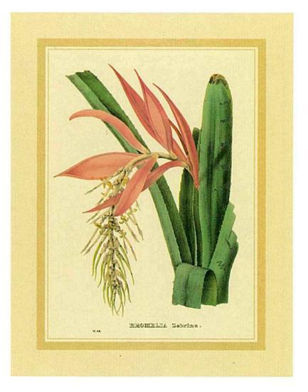 Bromelia Zebrina-C. Van Geel-Art Print