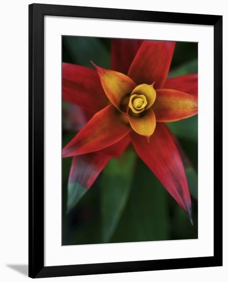 Bromeliad Burst IV-Jason Johnson-Framed Photographic Print