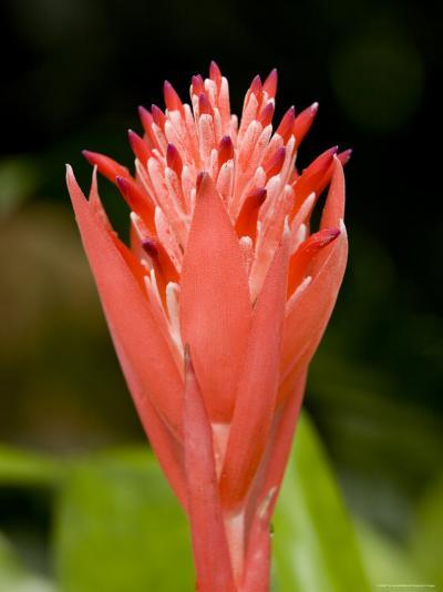 Bromeliad Flower, An Epiphyte from C and S American Rain Forests, Singapore-Tim Laman-Photographic Print
