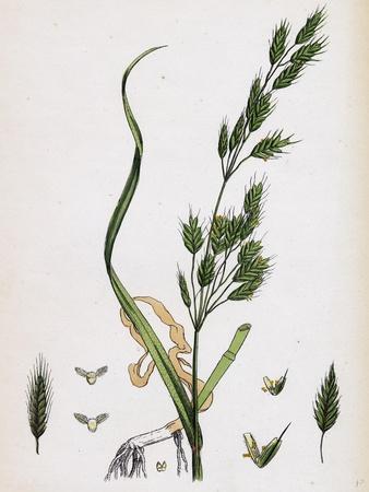 https://imgc.artprintimages.com/img/print/bromus-secalinus-var-genuinus-rye-brome-grass-var-a_u-l-pvt3u80.jpg?p=0