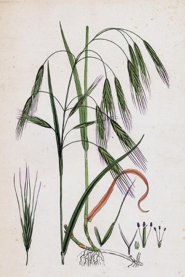 Bromus Sterilis Barren Brome-Grass--Giclee Print
