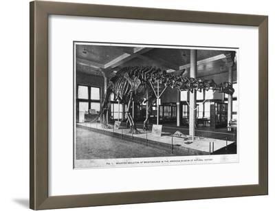 Brontosaurus Skeleton, American Museum of Natural History, New York, USA, Early 20th Century