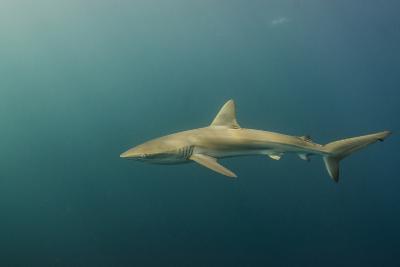 Bronze Whaler Shark, Sardine Run, Eastern Cape, South Africa-Pete Oxford-Photographic Print