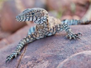 Perentie Monitor Lizard Basking on Rock in Outback Australia by Brooke Whatnall