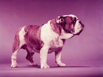 Brown and White Bulldog-H^ Armstrong Roberts-Photographic Print