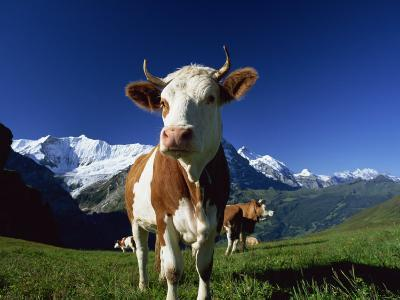 Brown and White Cow in Alpine Meadow, First, Grindelwald, Bern, Switzerland, Europe-Tomlinson Ruth-Photographic Print