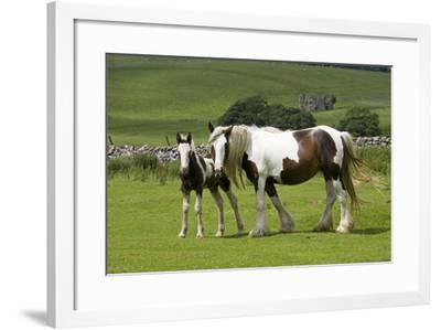 Brown and White Piebald Horse with Young Foal--Framed Photographic Print
