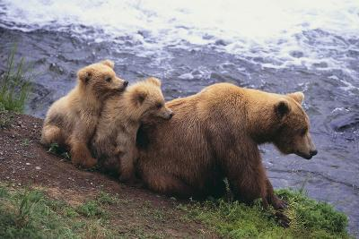 Brown Bear and Cubs-DLILLC-Photographic Print
