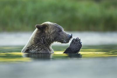 Brown Bear and Salmon, Katmai National Park, Alaska-Paul Souders-Photographic Print