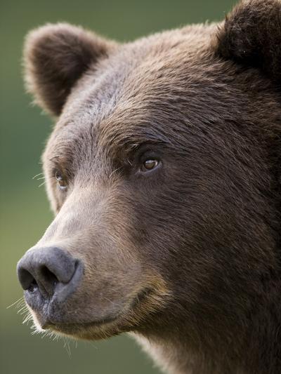 Brown Bear at Kinak Bay in Katmai National Park-Paul Souders-Photographic Print