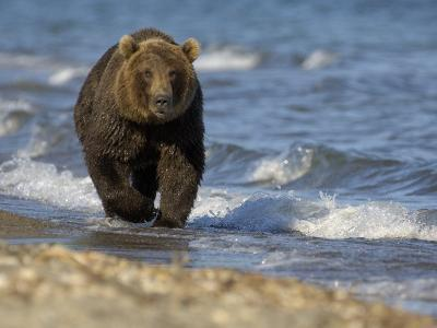 Brown Bear Beside Water, Kronotsky Nature Reserve, Kamchatka, Far East Russia-Igor Shpilenok-Photographic Print