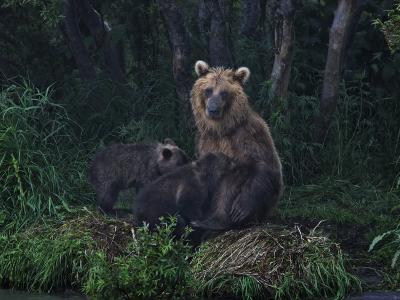 Brown Bear Breast-Feeding Her Cubs at Kurilskoye Lake Preserve-Randy Olson-Photographic Print